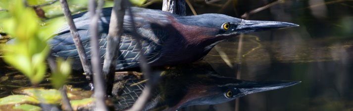 Green Heron,  Everglades National Park, Florida